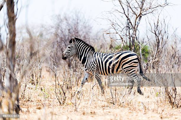 A wary zebra disappearing into an arid and smashed forest at the height of the dry season.