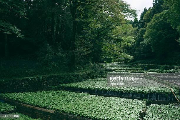 Wasabi farm in Japan, Shizuoka