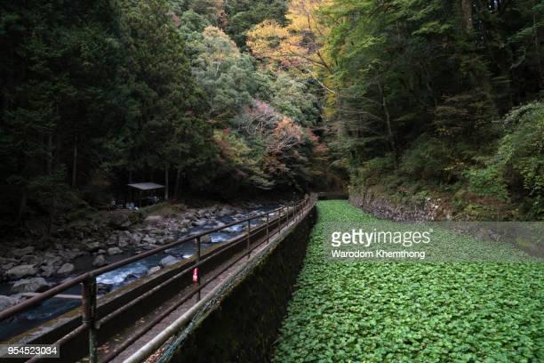 wasabi garden in Japan