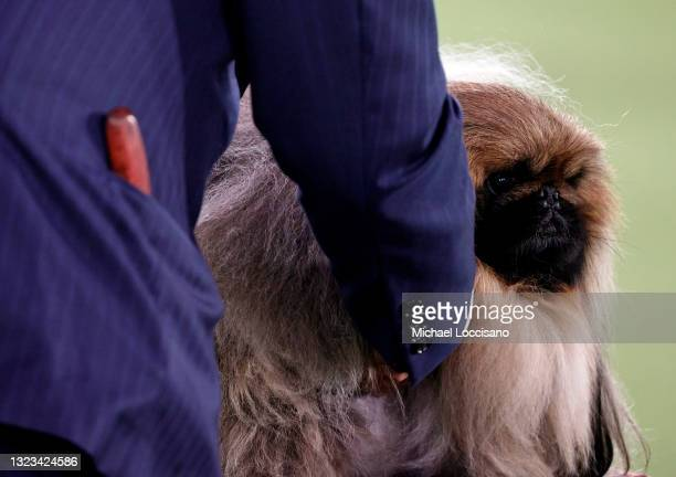 Wasabi the Pekingese competes in Best in Show at the 145th Annual Westminster Kennel Club Dog Show on June 13, 2021 in Tarrytown, New York....