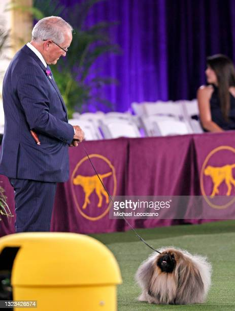 Wasabi the Pekingese, with handler/owner David Fitzpatrick, competes in Best in Show at the 145th Annual Westminster Kennel Club Dog Show on June 13,...