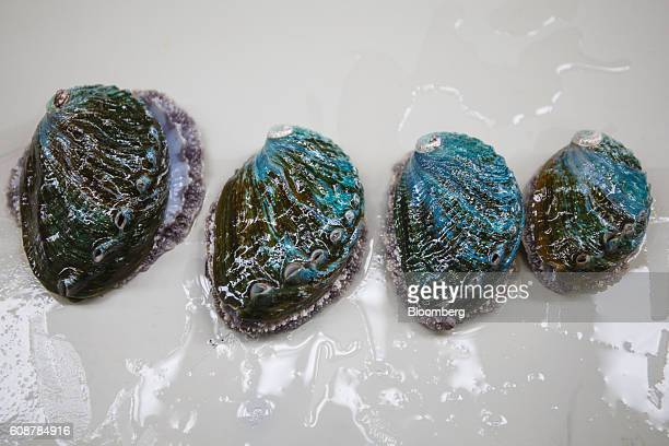 Washed abalone molluscs sit in a tank at the Galician Marine Aquaculture SL breeding farm in Muros Spain on Monday Sept 19 2016 Abalone is one of the...