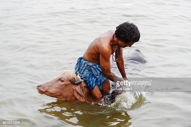 washing cows at Ganges river