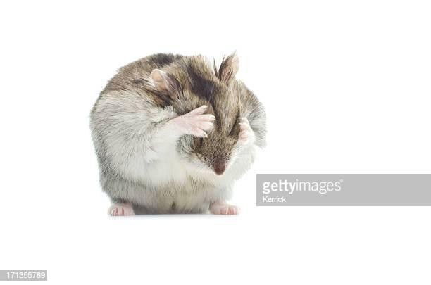 Waschen djungarian hamster