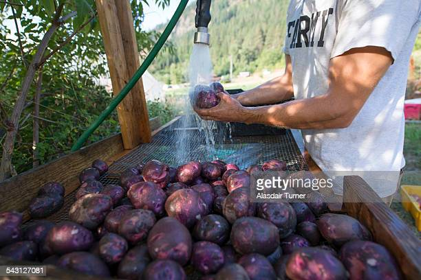 Washing freshly harvested organic potatos from an organic urban farm.