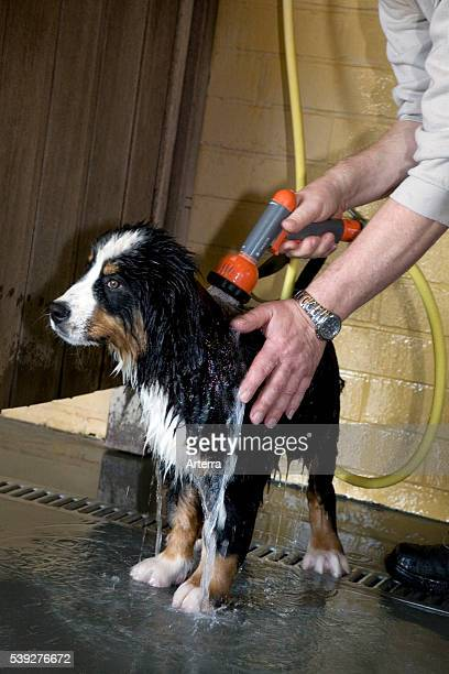 Washing of Bernese mountain dog pup with water hose