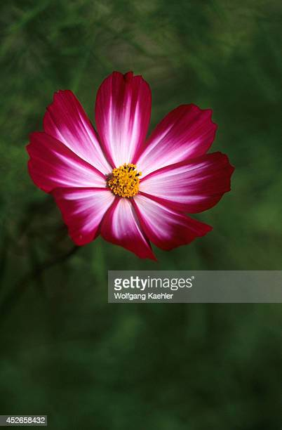 USA Washington Bellevue Cosmos Flower Closeup Picotee Cosmos Bipinnatus