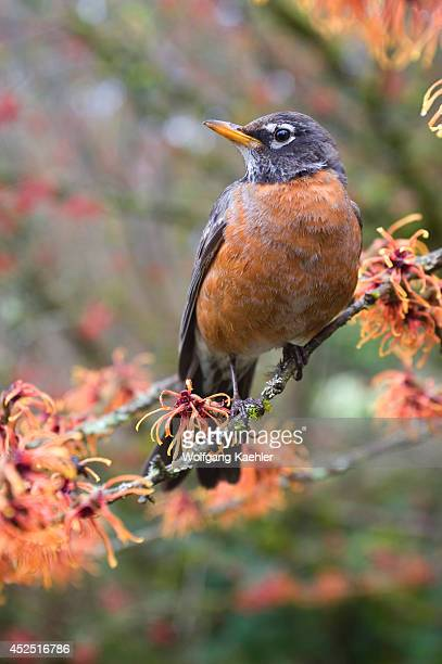 USA Washington Bellevue Red Robin Perched In Witch Hazel Hamamelis I Diane Flowering January/february
