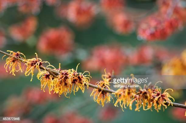 USA Washington Bellevue Witch Hazel Hamamelis I Jelena Flowering January/february