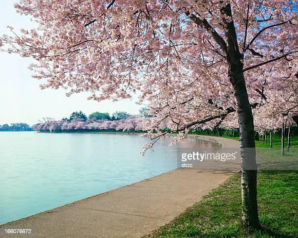 Washington DC bloosoms de cerezo, curva pasillos y cuenca tidal