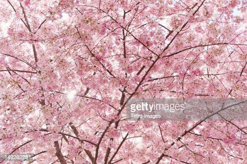 USA, Washington DC, Cherry blossom