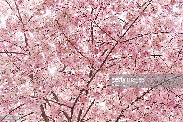 USA, Washington DC, Cherry blossom