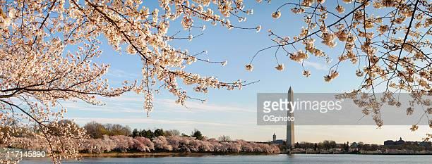 xxxl: washington dc cherry blossoms and monument - ogphoto stockfoto's en -beelden