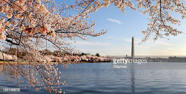 washington dc cerisiers en fleurs et le monument - ogphoto photos et images de collection