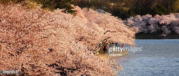 washington, d.c., cherry blossoms und monument - ogphoto stock-fotos und bilder