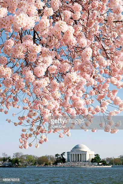 washington dc cherry blossoms - frische stockfoto's en -beelden
