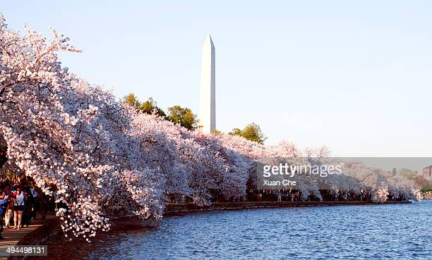 Washington, DC during the National Cherry Blossom Festival.