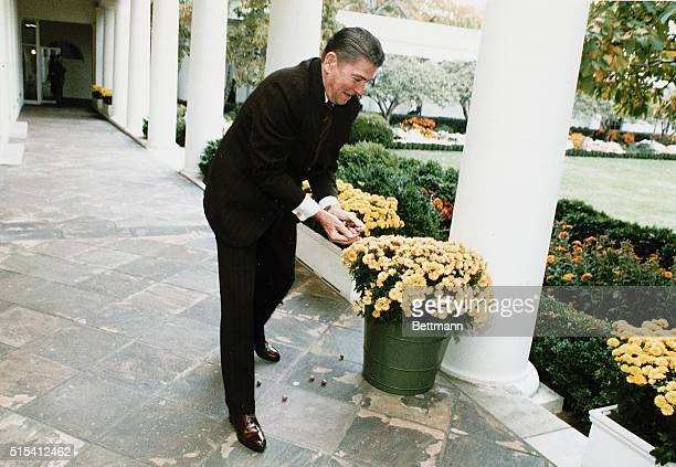 Washington DC President Ronald Reagan feeds some White House squirrels with acorns collected for Camp David The photo was taken outside the Oval...
