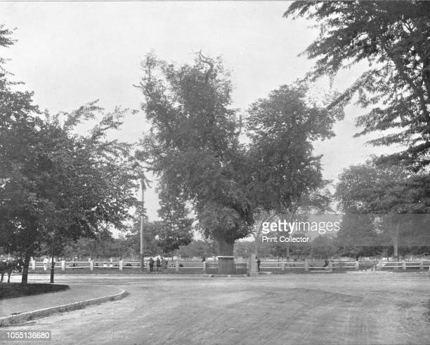 Washington Elm Cambridge Massachusetts USA circa 1900 Supposedly it was under this tree that George Washington first took command of the American...