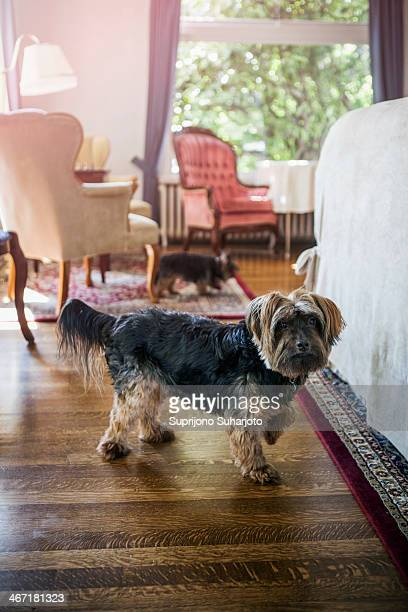 USA, Washington, Everett, Dog in bedroom