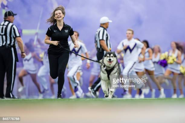 Washington mascot Dubs runs down the field before a college football game between the Washington Huskies and the Montana Grizzlies on September 9...
