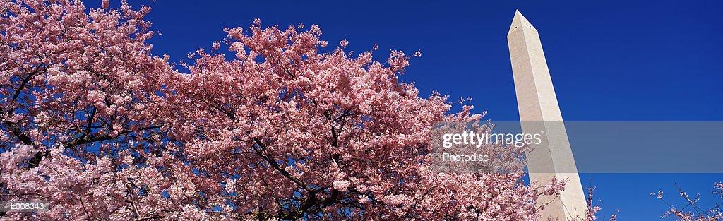 Washington Monument & spring cherry blossoms : Stock Photo