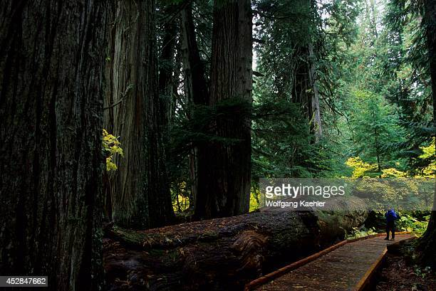 USA Washington Mount Rainier National Park Grove Of The Patriarchs Old Growth Hiker Model Release 2002092310