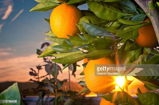 washington navel oranges - navel orange stock photos and pictures