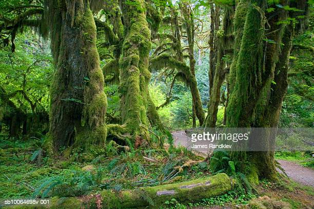 usa, washington, olympic national park, hoh rain forest, hall of mosses trail with big leaf maples - olympic park stock pictures, royalty-free photos & images