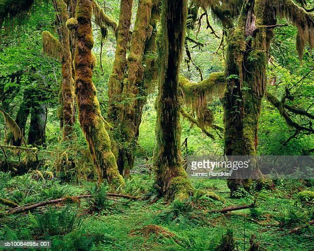 USA, Washington, Olympic National Park, Hoh Rain Forest, Hall of Mosses Trail
