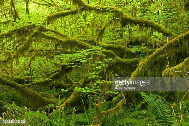 usa, washington, olympic national park, hoh rain forest - foresta temperata foto e immagini stock