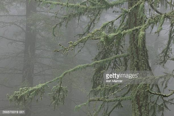 USA, Washington, Orcas Island, Moran State Park, moss-laden fir tree