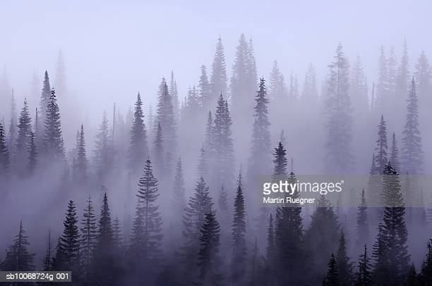 usa, washington, pierce county, mount rainier national park, cascade range, mist in  forest - noroeste do pacífico imagens e fotografias de stock