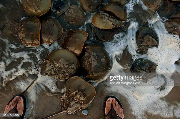 Washington Post photographer Marvin Joseph gets up and close and personal with a dozen of horseshoe crabs that arrived on the Delaware Bay shoreline...