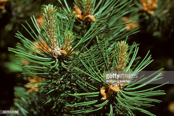 USA Washington State Bellevue Close Up Of Branch Of Scotch Pine Tree In Spring