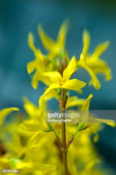 USA Washington State Bellevue Garden Forsythia Photographed With Lensbaby