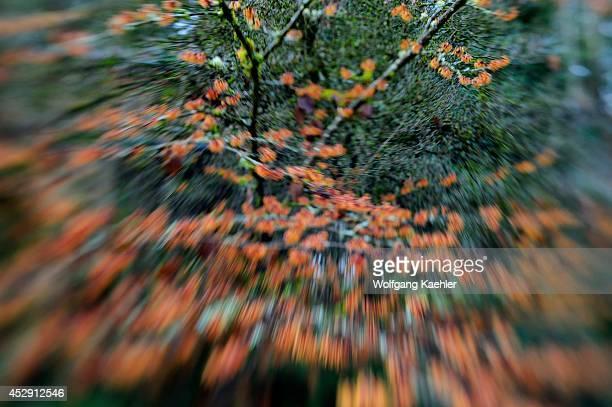 USA Washington State Bellevue Garden Witch Hazel Hamamelis I Jelena Photographed With Lensbaby