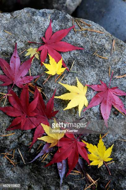 USA Washington State Bellevue Maple Leaves On Granite Rock In Fall