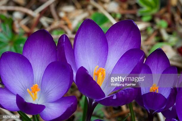USA Washington State Bellevue Purple Crocus In Spring