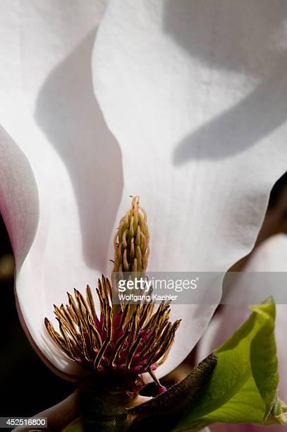 USA Washington State Bellevue Tulip Magnolia In Garden