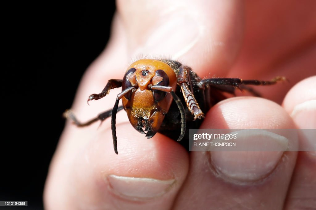 US-SCIENCE-ASIAN HORNETS : News Photo