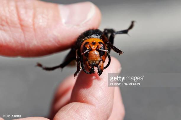 Washington State Department of Agriculture entomologist Chris Looney displays a dead Asian giant hornet a sample sent from Japan and brought in for...