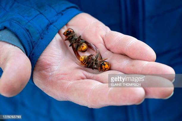 Washington State Department of Agriculture workers holds two of the dozens of Asian giant hornets vacuumed from a tree on October 24 in Blaine,...