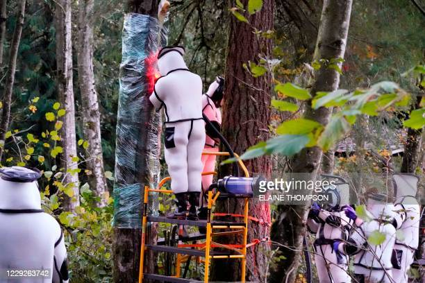 Washington State Department of Agriculture workers work to vacuum a nest of Asian giant hornets from a tree on October 24 in Blaine, Washington. -...