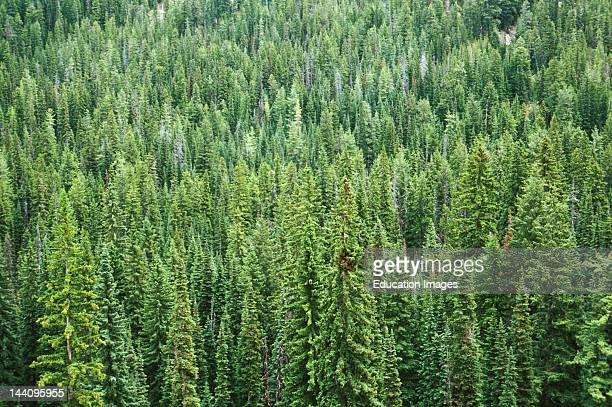 Washington State Evergreen Forest Aerial View