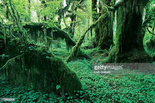 USA, Washington State, Olympic National Park, Hoh Rain forest