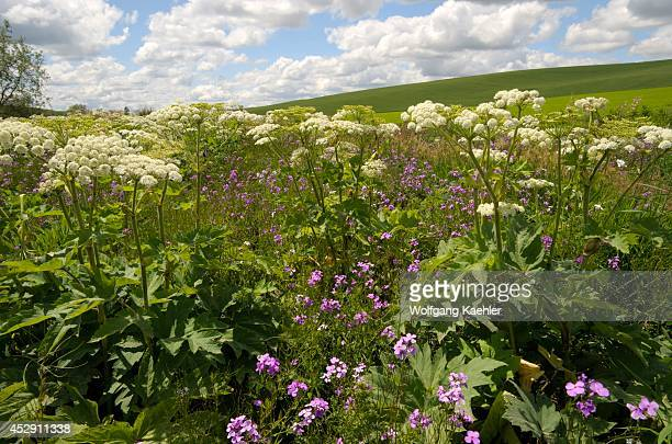 USA Washington State Palouse Country Near Pullman Wildflowers Cumulus Clouds