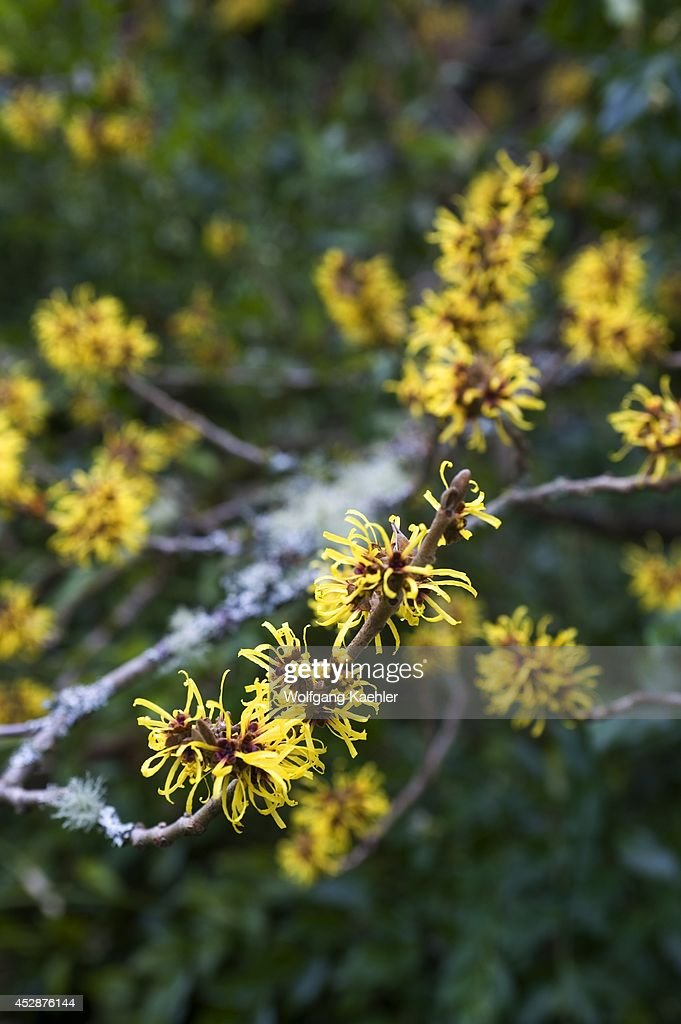 USA Washington State Seattle University Of Washington Botanic Garden  Arboretum Winter Witch Hazel
