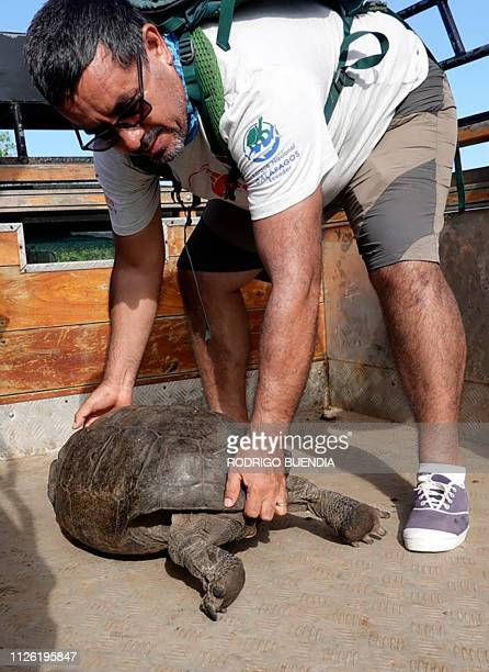 Washington Tapia member of Galapagos Conservancy holds a specimen of the giant Galapagos tortoise Chelonoidis phantasticus thought to have gone...