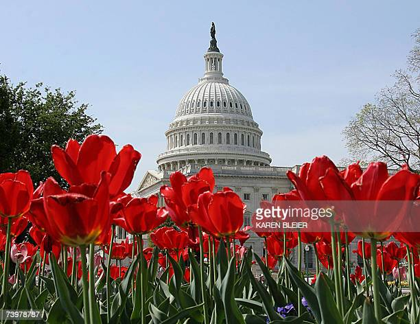 The dome of the US Capitol provides a backdrop for blooming tulips 25 April 2007 on Capitol Hill in Washington DC AFP PHOTO/Karn BLEIER